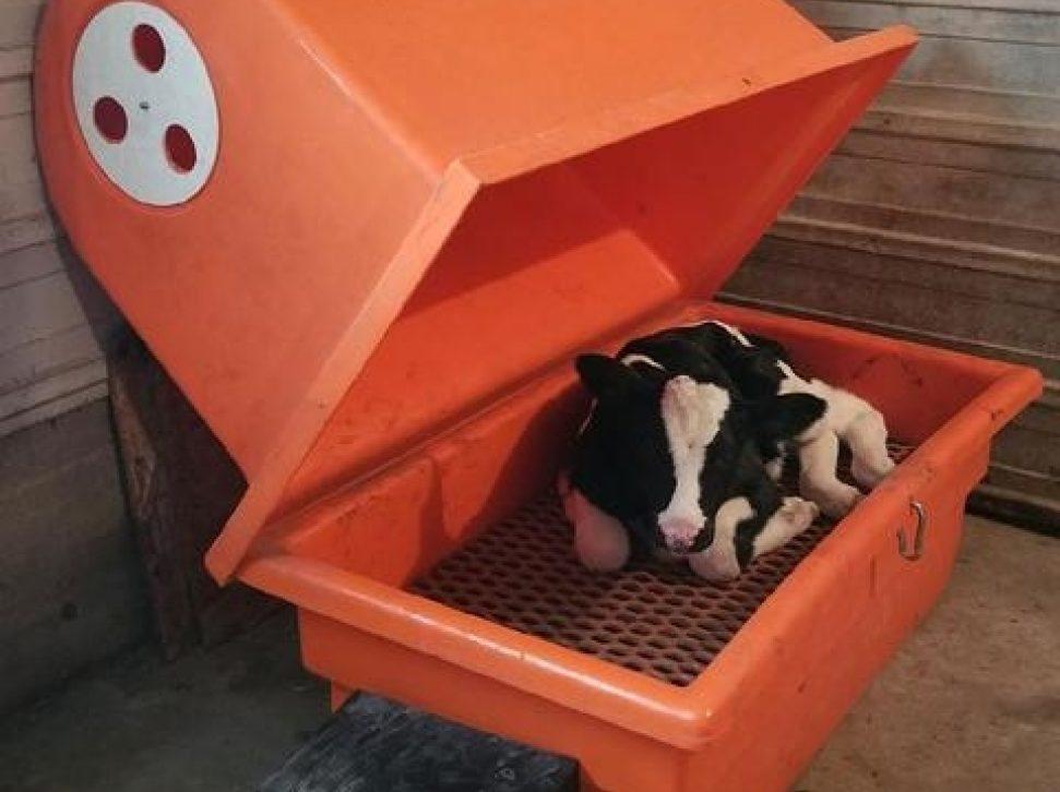 Warming Calves During Calving Season